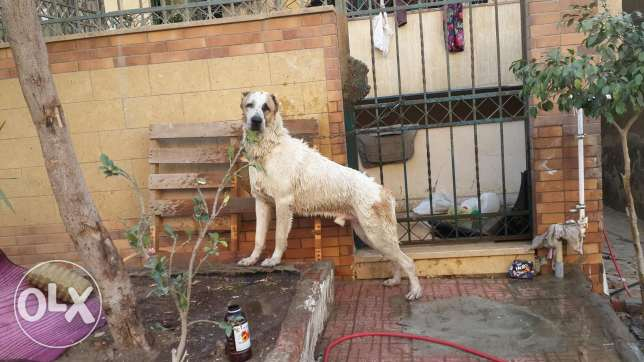 Alabai dog male for sale no mating befor