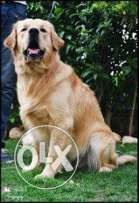 Golden retriever dog for mating 3 years pure 99%
