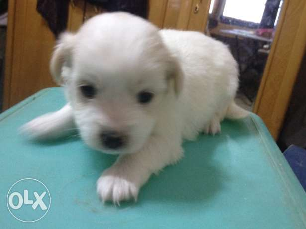 puppy griffon pure white and gold جرو جريفون بيور٢
