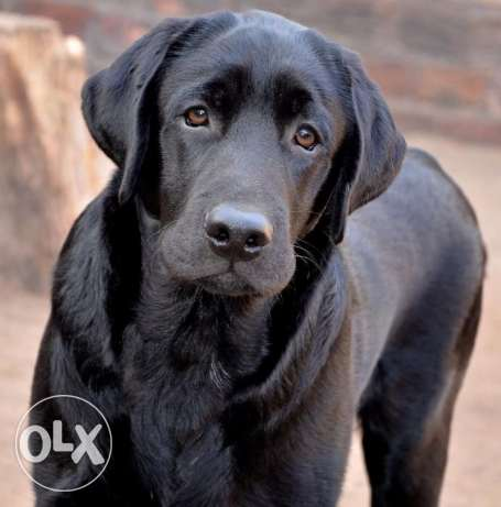 A gorgeous black labrador