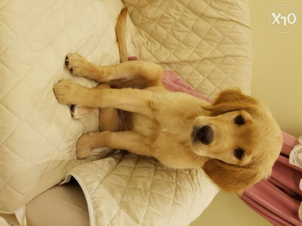 female golden retriver