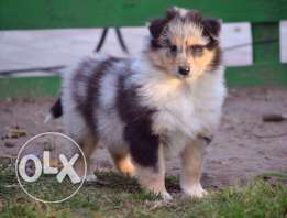Super collie puppies available for sale