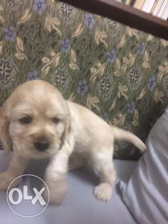 Ameicarn-cocker-spaniel- PUPPIES for Sale شبرا -  5