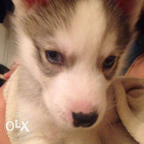 puppy husky pure breed شيراتون -  2