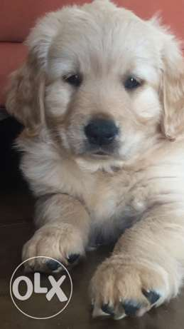 2 Golden retriever puppies,45 days بالتطعيم