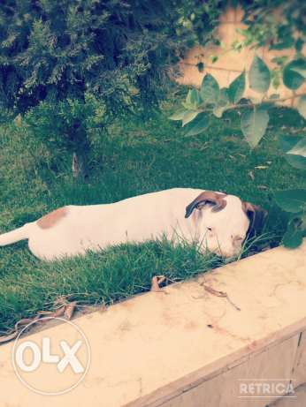 For Sale Beautiful Pure White Boxer Puppie مصر الجديدة -  6
