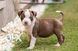 Pitbull puppies for sale blue eyes pure breed