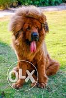 For sale best Tibetan mastiff in the world imported fci