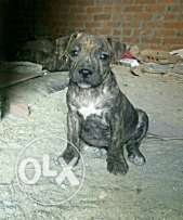 Amirecan pitbull puppy