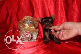 teacup Yorkshire terrier imported from Ukraine with documentation