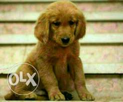 Golden retriver male and female puppies