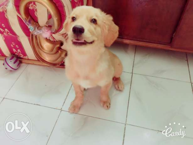 golden retriever جولدن ريتريفر بيور pure 6 أكتوبر -  5