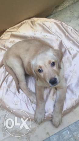 Labrador retriever 2 months for sale