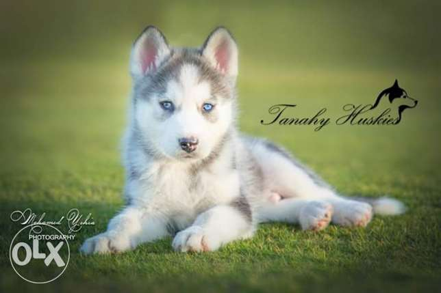 Husky puppies for sale pure breed مصر الجديدة -  7