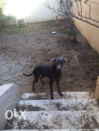 female doberman العبور -  4