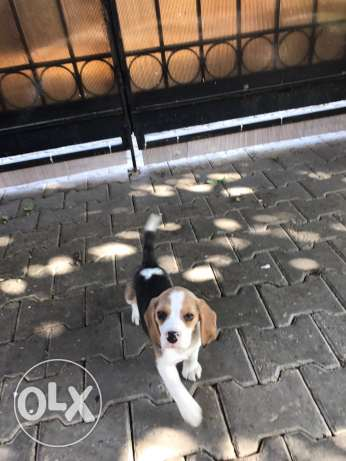 Female Beagle 47 days vaccinated Beagle الشيخ زايد -  1