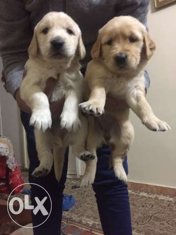for sale puppies golden retriever التجمع الأول -  3