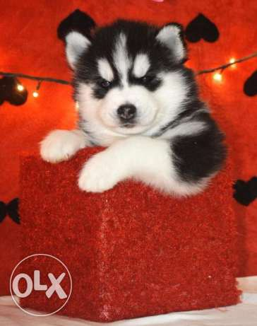 Siberian husky puppies for sale in Egypt
