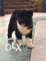 Puppy American Akita for sale