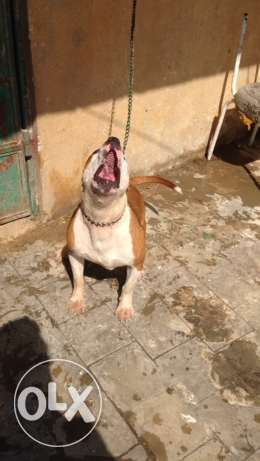 female pitbull for sale شيراتون -  4