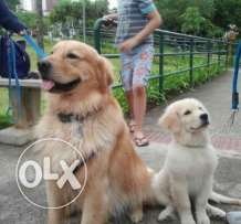 مطلوب جرو Golden Retriever