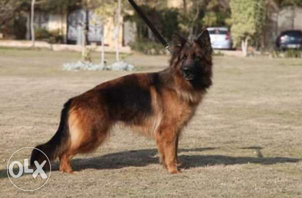 Female Germansheperd for sale Gave birth before Age : 2.5 years For i