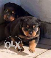 Available Rottweilers Puppies