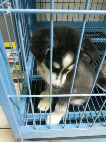 Huskey for sale