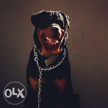 Male Rottweiler for Sell