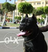 Male cane corso imported for sale or mating
