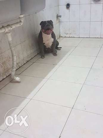 female american bully المهندسين -  3