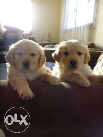 2 Pure golden retrievers (male & female) 60 days old (2500 egp per dog