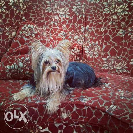 pure Yorkshire terrier black male مصر الجديدة -  1