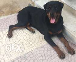 10 Month old Rottweiler Male