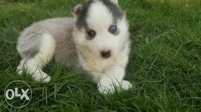 For sale puppies husky 40 days