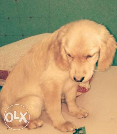 Golden puppy ترسا -  5