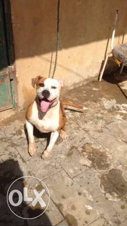 female pitbull for sale شيراتون -  3