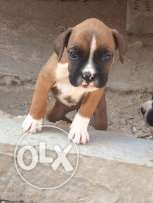 boxer dogs pure