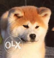 Japaneses Akita Inu Puppy for sale 100% Pure