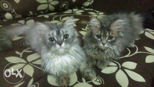 Cats,half persian half moon face for sale q