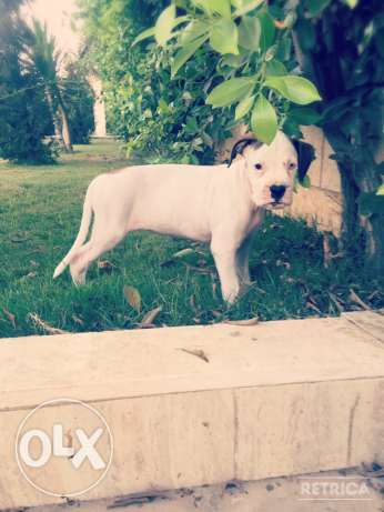 For Sale Beautiful Pure White Boxer Puppie مصر الجديدة -  1