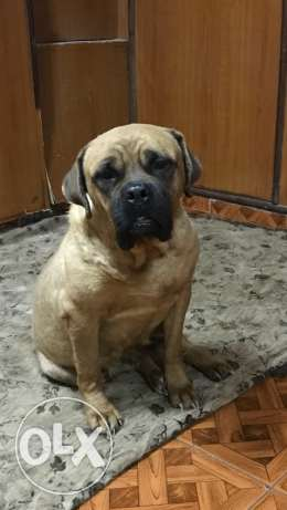 old English mastiff female