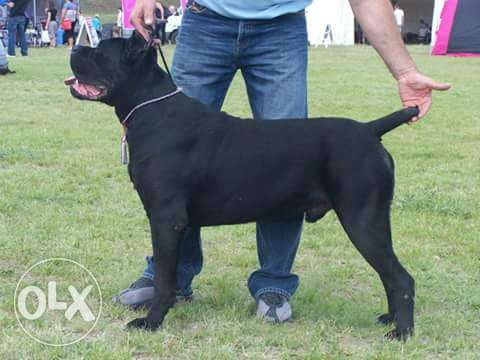 For mating only- Cane Corso multi champion male. للزواج فقط .
