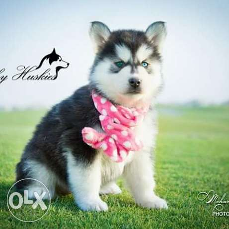 Husky puppies for sale pure breed مصر الجديدة -  2