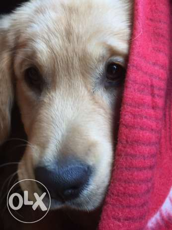 Golden Retriever Female شدس -  6