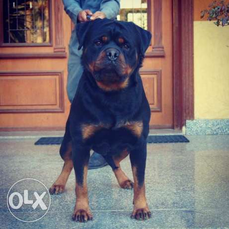 For sale male Rottweile شيراتون -  5