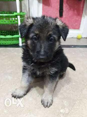 German Shepherd pure dog 40 days