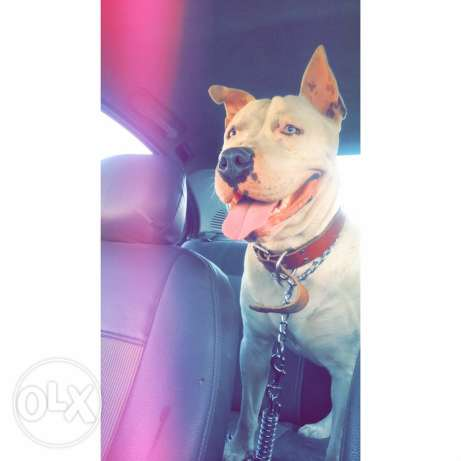 Dogo Argentino for mating