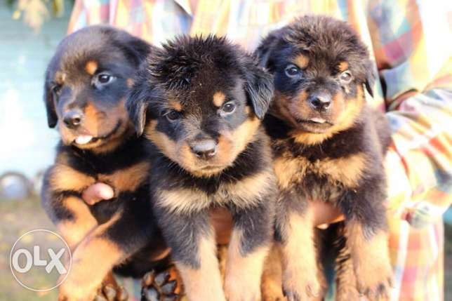 Pure Rottweiler puppies for sale القاهرة -  2