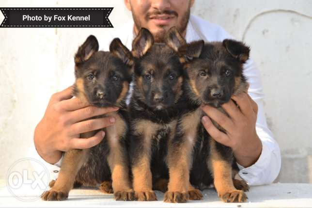 German Shepherd puppies for Sale Champion bloodline vegas line